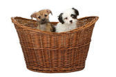 Two Mixed Breed Puppies in a Basket — Stock Photo