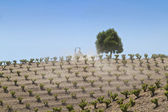 Farming on a California vineyard — Stock Photo