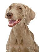 Closeup de cachorro weimaraner — Foto Stock