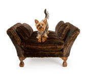 Yorkshire Terrier on a luxury fur chair — Stock Photo