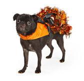 Black Pug Dog wearing orange Halloween dress — Stock Photo