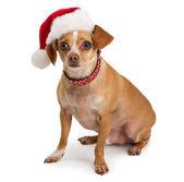 Chihuahua wearing santa hat — Stock Photo
