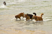 Three Dogs Plating in the Ocean Water — Stock Photo
