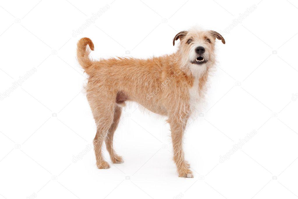 Scruffy Haired Dog Breeds