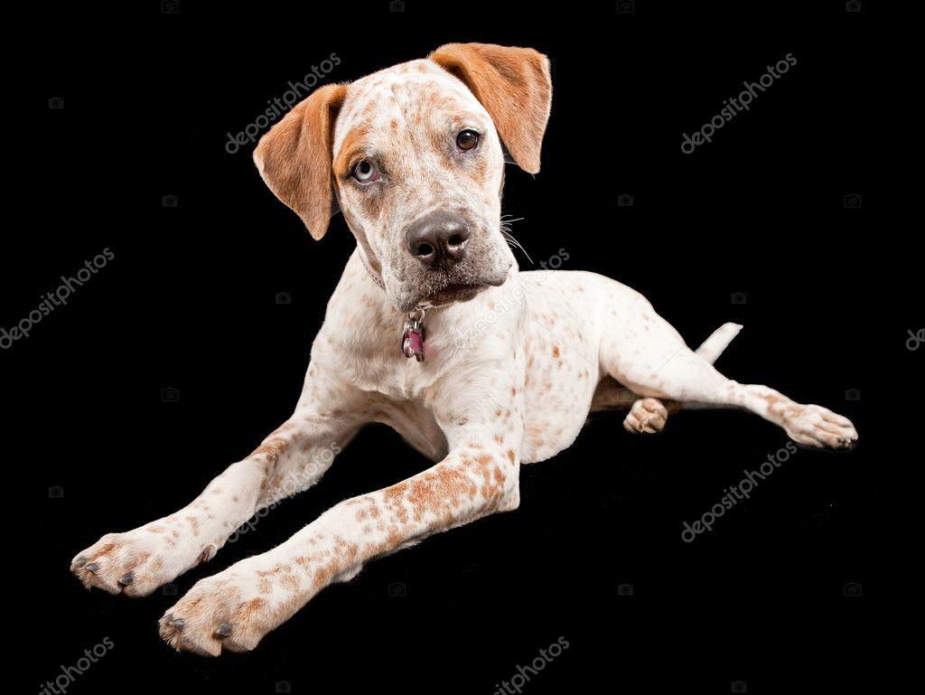 Black Boxer Mix Dog Australian cattle dog cross