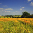 Stock Photo: Crops growing in field