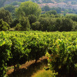 Vineyards — Stock Photo #10808451
