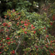 Red berries on tree and bush in countryside - Stock Photo