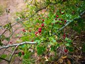 Holly berries tree — Stock Photo