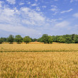 Stockfoto: Crops growing in field