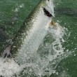 Tarpon fish jumping out of water — Photo
