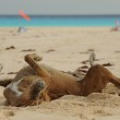 Happy dog rolling around in sand on beach — Stock Photo