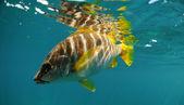 Master snapper fish swimming in ocean — Stock fotografie