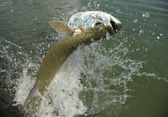 Beautiful tarpon fish jumping out of water — Stockfoto