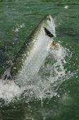Tarpon ryb wyskakując z wody — Zdjęcie stockowe