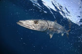 Barracuda fish swimming in blue ocean water — Stock Photo