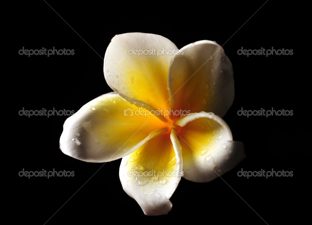 Yellow and white Frangipani flower isolated on black — Stock Photo #10767733