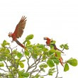 Macaw birds landing on tree — Stock Photo