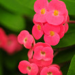 Crown of Thorns flowers — Stock Photo