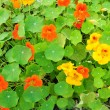 Nasturtium flowers — Stock Photo #10772738