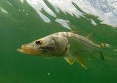 Snook fisch unter wasser — Stockfoto