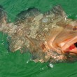 Red Grouper — Stock Photo #10875520