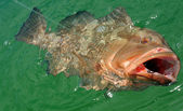 Red Grouper — Stock Photo