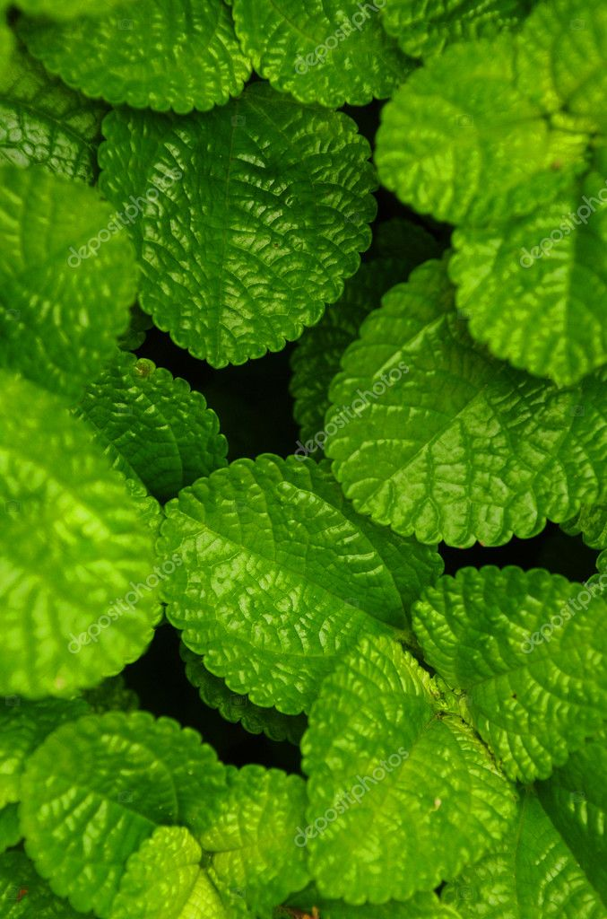 Green Creeping Charlie (Pilea nummulariifolia ) leaves for background — Stock Photo #10996946
