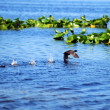 American Purple Gallinule bird - Foto Stock