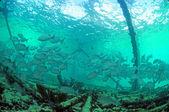Mangrove snapper fish underwater — Stock Photo