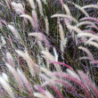 Stock Photo: Ornamental grass