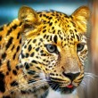 Portrait of the leopard - Stock Photo