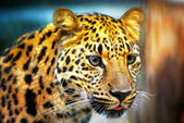 Portrait of the leopard — Stock Photo