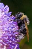 Sleep bumblebee on a field flower — Stock Photo