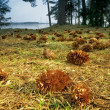 Conifer cones on the ground — Stock Photo