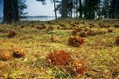 Conos de coníferas en el suelo — Foto de Stock