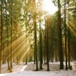 The rays of the sun in the winter pine forest. — Stock Photo