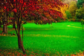 A small tree with red leaves on a background of green grass — Stock Photo