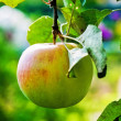 Stock Photo: Ripe apple on branch