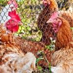 Chicken walking around the yard. — Stock Photo #12273576