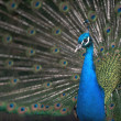 Stock Photo: Peacock courtship