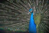 Peacock courtship — Stock Photo