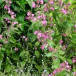 Fence with ragged-robin - Stock Photo