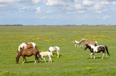 Horses on a meadow on Texel — Stock Photo
