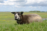 Sheep on a dike on Texel — Stock Photo