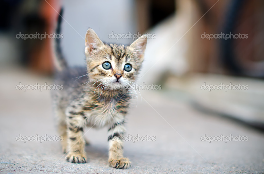 Kitten standing on the pavement  Stock Photo #11062904