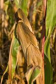 Covered corn — Stock Photo