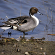Stock Photo: Northern Pintail