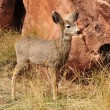 Mule Deer Fawn — Stock Photo