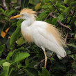 Cattle Egret — Foto de Stock